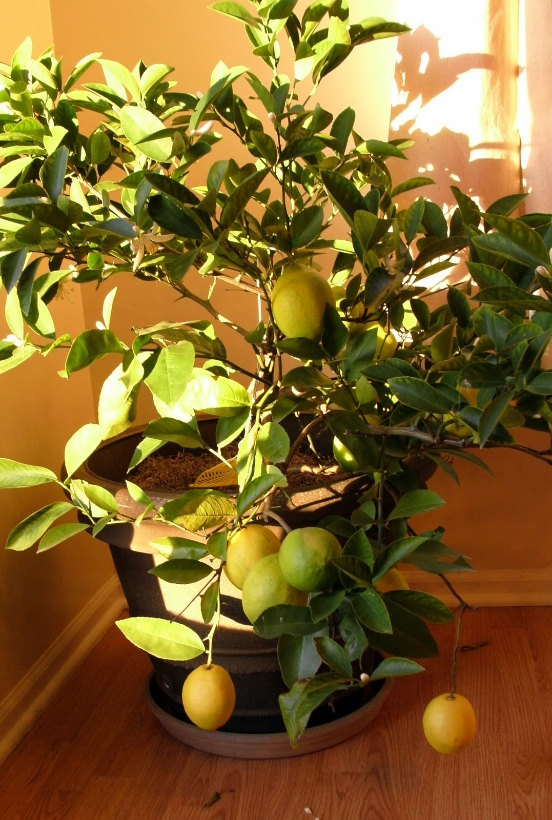 why yes those really are lemons growing on my lemon tree meyer lemons in fact and they taste sooo much better than the ones from the store