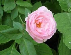 Ganhei essa rosa linda da amiga Estela. Obrigada.