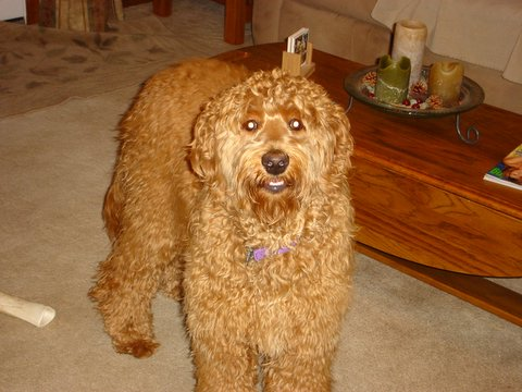 golden retriever mixed with a poodle. A:GOLDEN RETRIEVER POODLE MIX