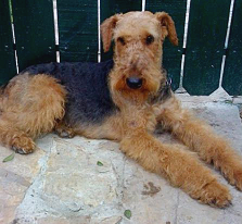 raza Airedale, perro Airedale, Airedale, cuidados Airedale, mascota Airedale