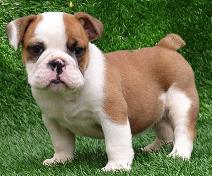 raza Bulldog Inglés, perro Bulldog Inglés, Bulldog Inglés, cuidados Bulldog Inglés, mascota Bulldog Inglés