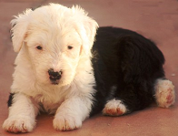 raza Bobtail, perro Bobtail, Bobtail, cuidados Bobtail, mascota Bobtail