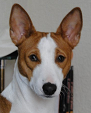 raza Basenji, perro Basenji, Basenji, cuidados Basenji, mascota Basenji