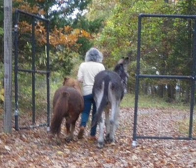 miniature horse and donkey go through the gate