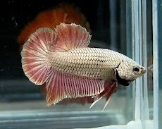 New Betta Arriving Soon - From Thailand
