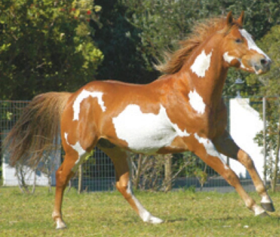 Equus Ferus Caballus American+Paint+Horse