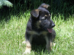 German Shepherd Puppy Dog
