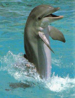 El delfin comun