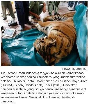 Foto Harimau Sumatra