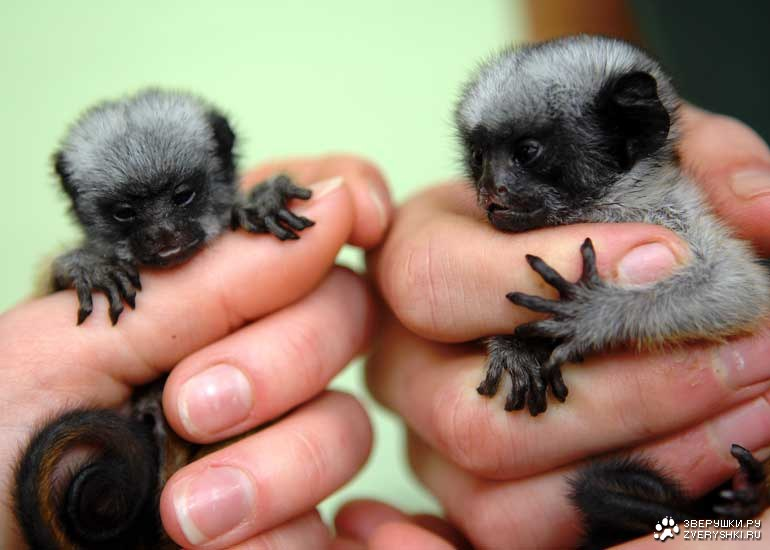Two Little Monkeys Two Little Hand Size Monkeys