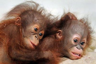 Cute monkey twins