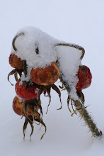 Winter Rose Hip