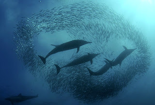 Sardine Run Shark Feeding Frenzy Phenomenon in Africa