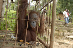 What future do you think this orangutan has?