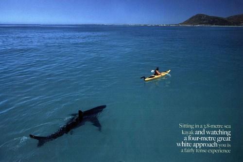 http://1.bp.blogspot.com/_bstXBEDnG9w/TMIJL6VpbfI/AAAAAAAADw0/occUoFaonWM/s1600/kayaker_watching_great_white_shark_approach.jpg