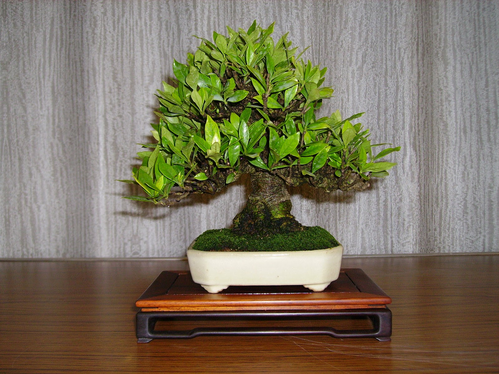 Ashfield Bonsai Club January 2011