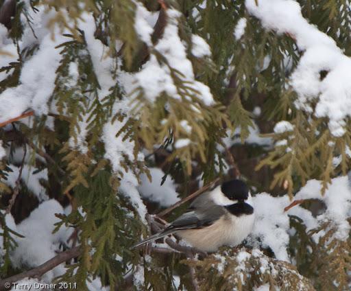 black capped chickadee, snow, cedar