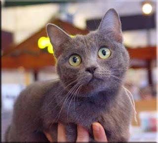 Gattico Gatto Certosino