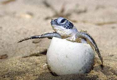 tortuga marina de mexico en peligro de extincion