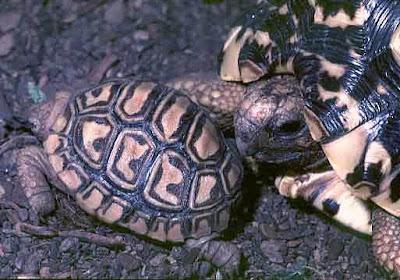 una de las especie de tortuga mapa