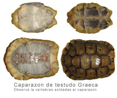 caparazones estructurados de las tortugas