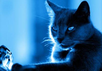http://1.bp.blogspot.com/_bvf53D43IgM/SQ5BLN6g_bI/AAAAAAAADWI/YqEgutbQrOk/s400/gato_azul.jpg