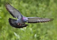 Burung+Anbia4jpg.jpg (231×164)