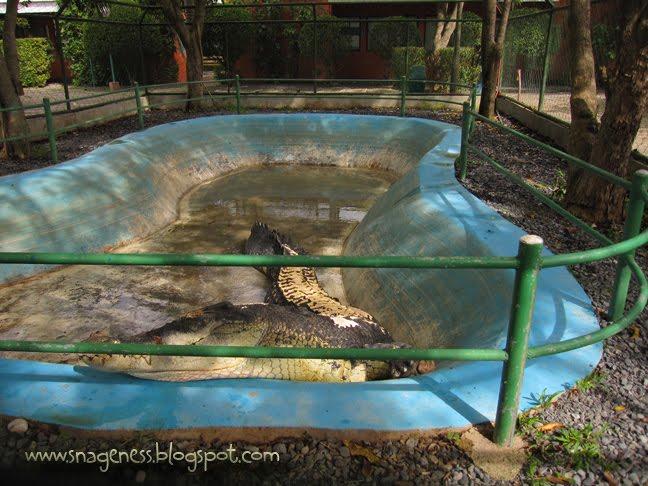 Quão grande pode ser? - Crocodilianos gigantes Crocodile_park_pangil%2Bcopy