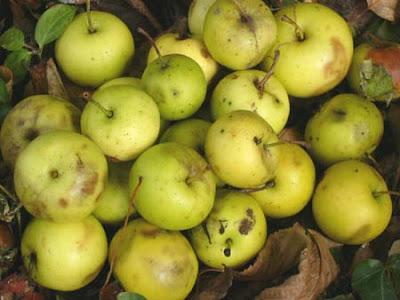 Cuisine sauvage gel e de pommes sauvages - Pomme de terre germee comestible ...