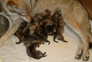 Bluebell von der Wolfsranch und ihre 10 Welpen