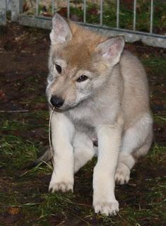 Ferriss von der Wolfsranch