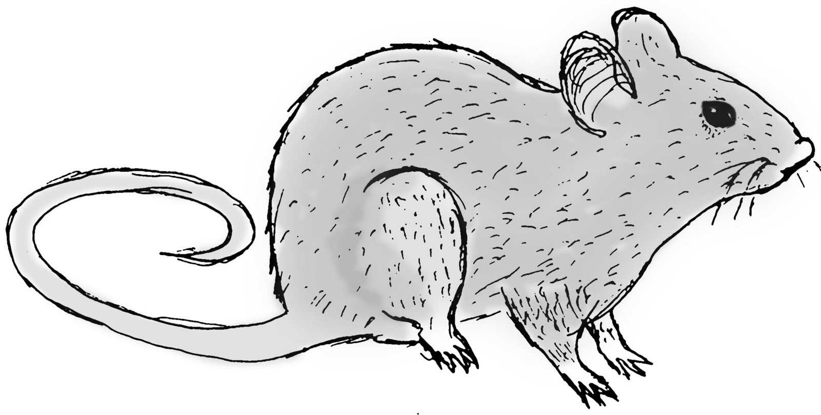 Uncategorized How To Draw Rats sustainability rat drawing