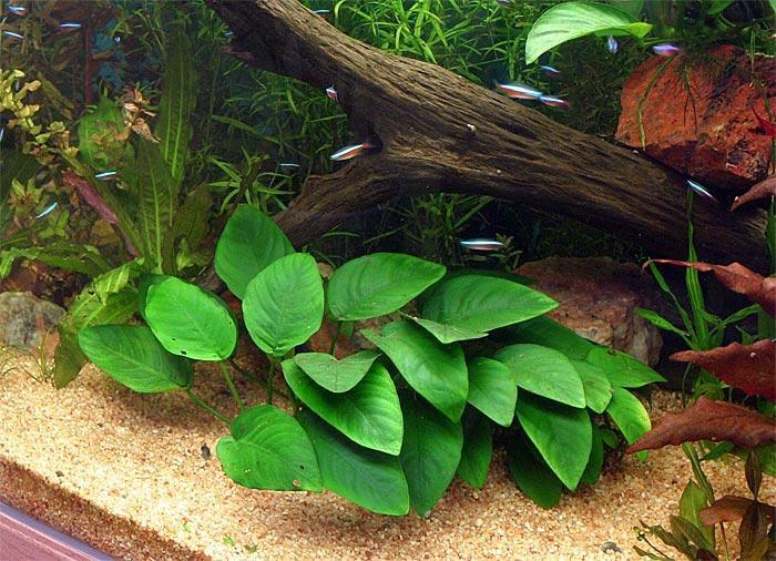Bulletin Of Russian Anubias Forum Algae In Aquarium