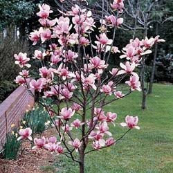 Desde mi jard n magnolias for El arbol que no tiene hojas