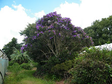 TIBOUCHINA TREE