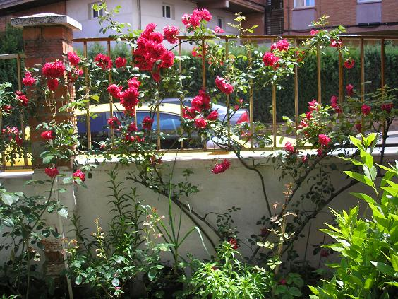 el jardin de pepa: rosales de pepa