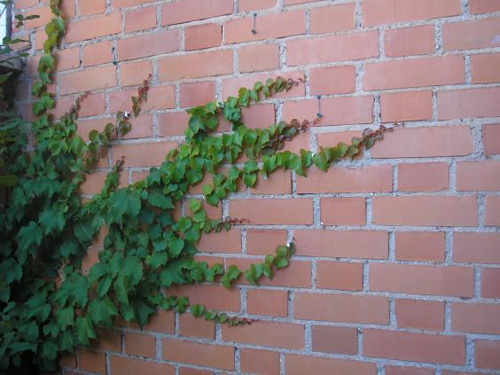 El jardin de pepa enredaderas y trepadoras - Plantas trepadoras para muros ...