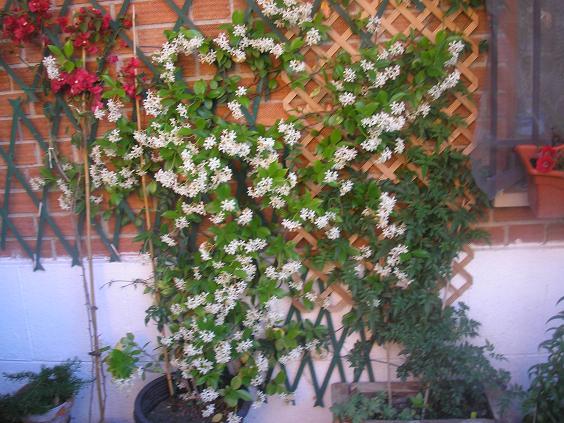 la más bella de las perennes trepadoras por sus hojas coriáceas de