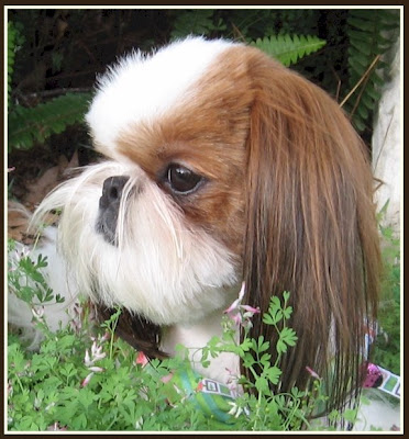 Tian Mi Shih Tzu It Costs How Much To Groom A Shih Tzu