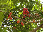 Tropical Red Plum
