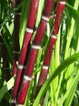 Purple Sugar Cane
