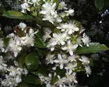 Grumichama Flowers (Brazil Cherry)