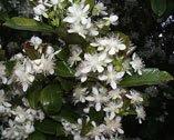 Grumichama Flowers (Brazil Cherry)