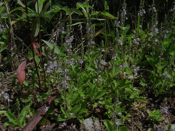 Common Speedwell, Veronica officinalis