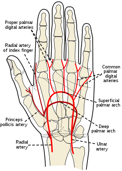 Ulnar+Artery.png
