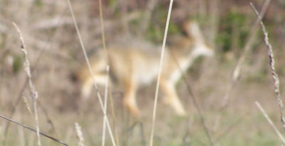 coyote on Elmhurst Road