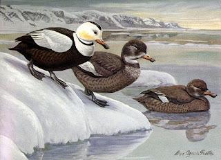 Pato de Labrador Camptorhynchus labadorius