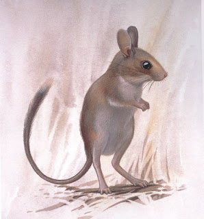 Short tailed hopping mouse