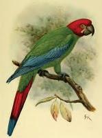 guacamayo verde y amarillo aves extintas de america Ara erythrocephala