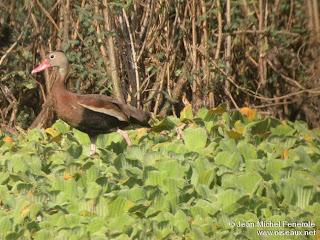 Sirirí de vientre negro Dendrocygna autumnalis